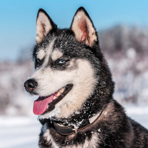 70 awesome alaskan dog names puppy names